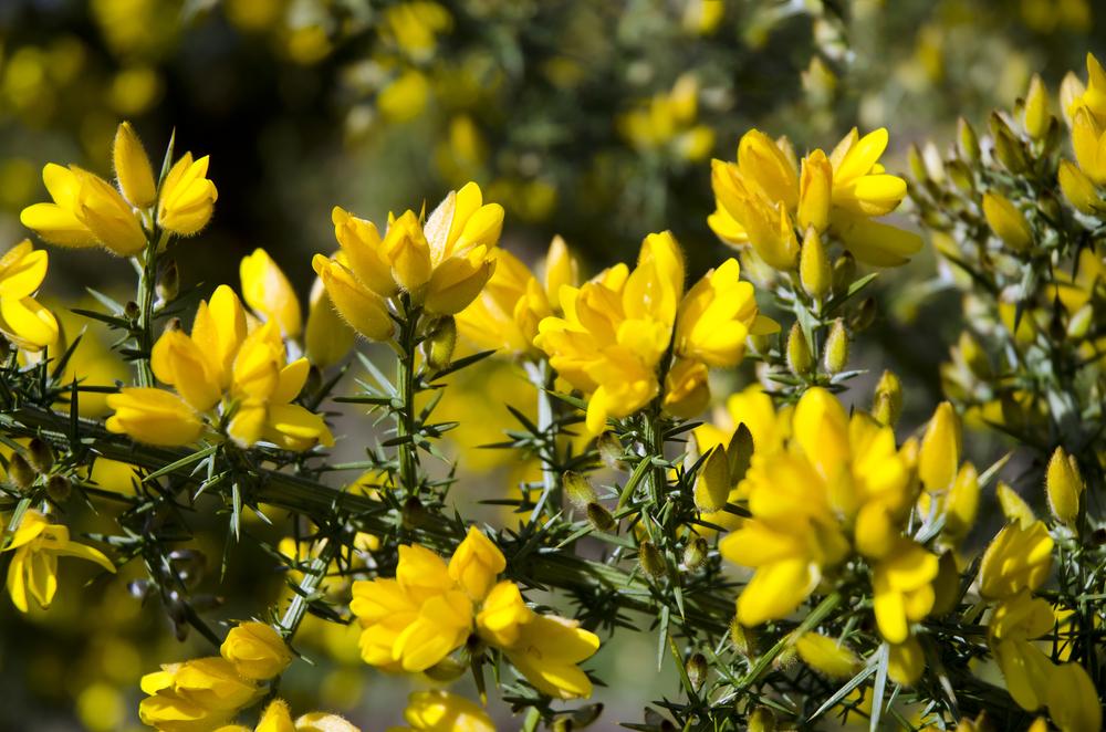 Gorse Scottish Wildflowers Information Photos Amp Latin